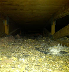 how to get pigeons out of attic