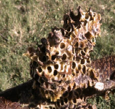 Bee removal hive built over pine cones