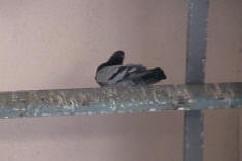 Bird Pictures Of Bad Bird Pigeon Control